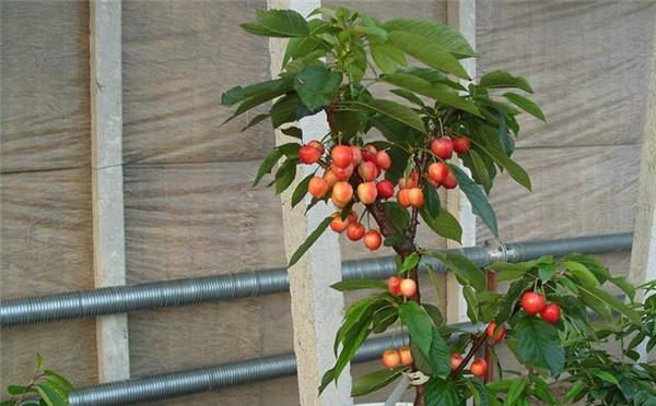 如何管理矮化果树盆景 果树盆景中的矮化技术