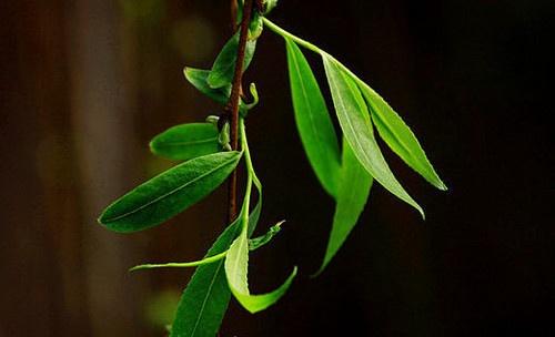 柳树叶的作用 柳树叶的食用方法