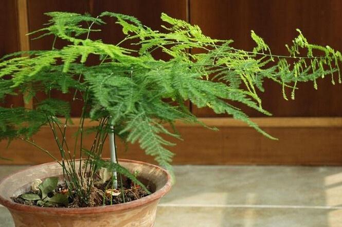 圆形花盆种文竹