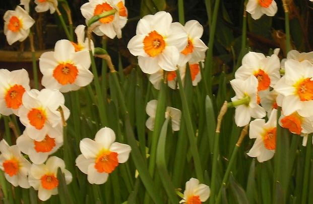 水仙花种植方法 水仙花的种植技巧大全