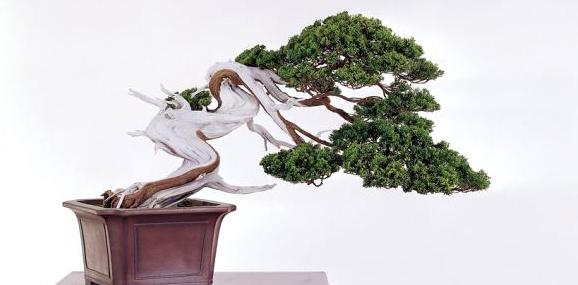 一般来说,用作盆景制作的主要柏树种类有:龙柏,翠柏,侧柏,圆柏,真