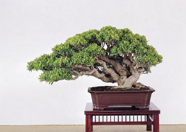 【室内榕树盆景】榕树盆景养殖方法大全